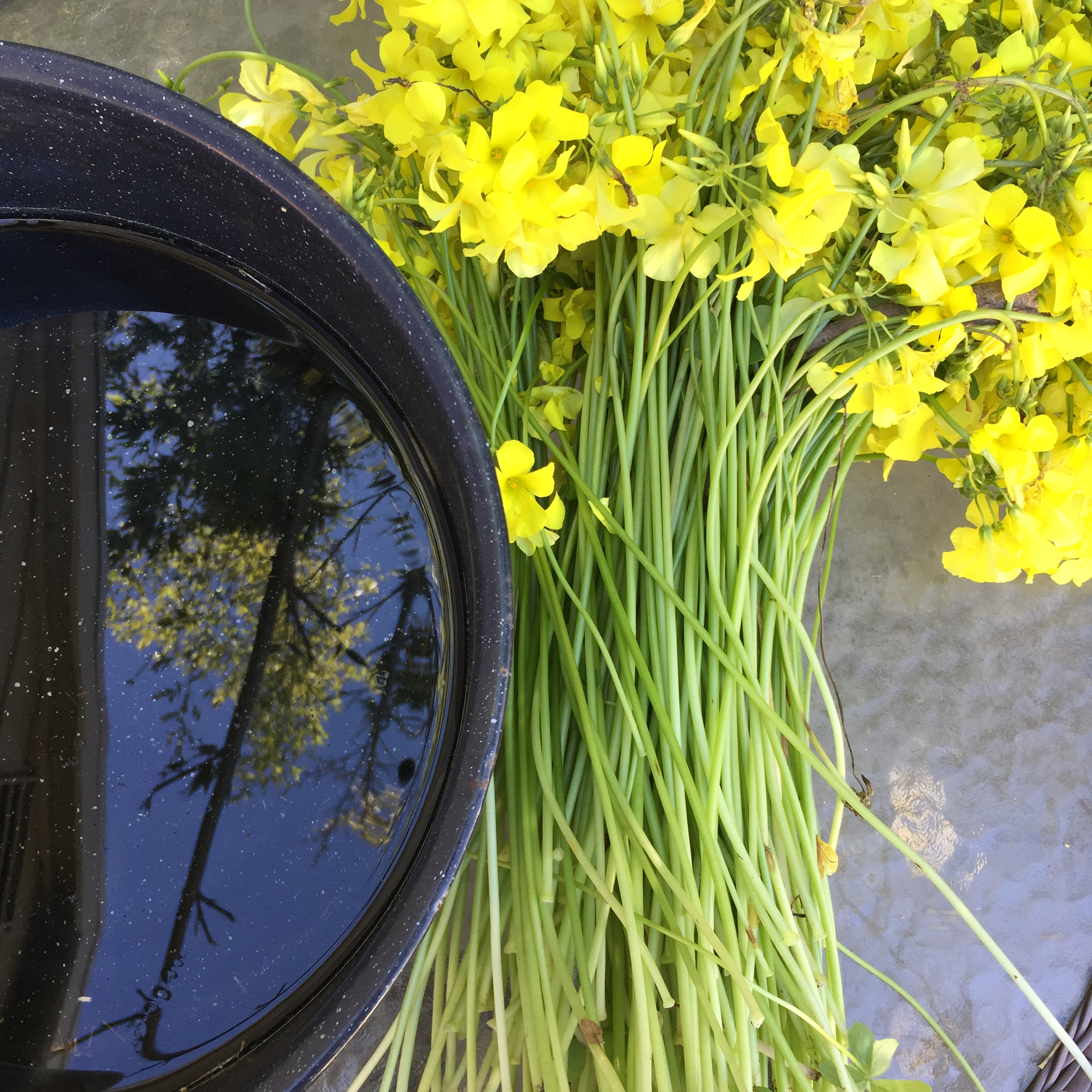 oxalis dyepot and flowers